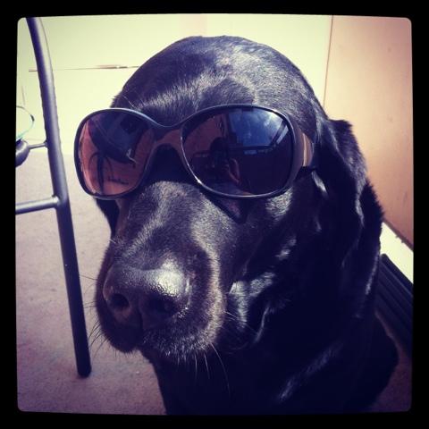 Disa Labradoren njuter av sol.jpg