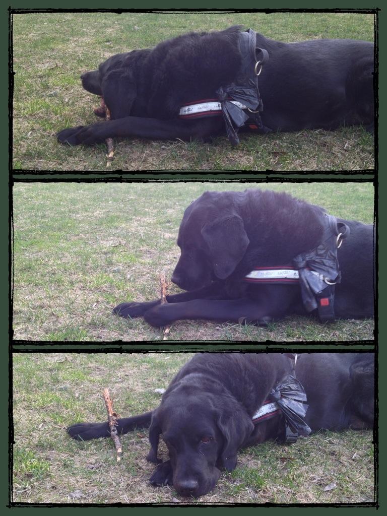 promenad med hund, Labrador gillar pinnar, kasta apport.jpg