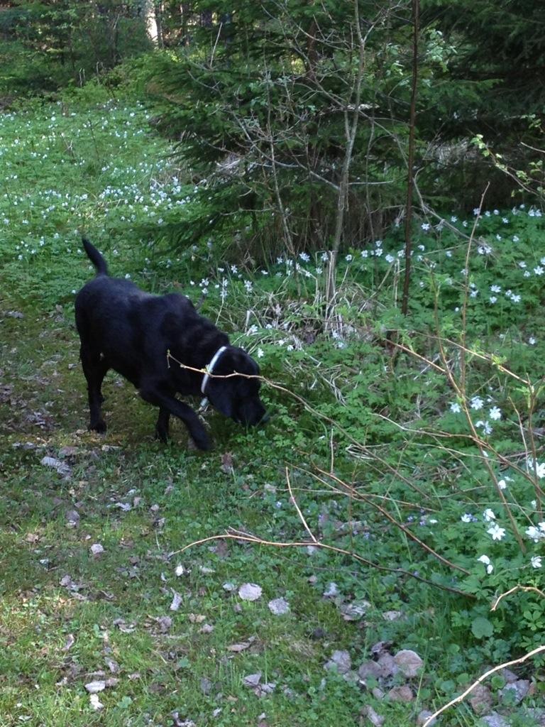 vitsippor, hunden Labrador, promenad i skogen, svensk skog.jpg