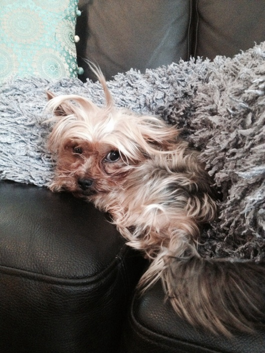 lilla Oskar Yorkshire terrier in A new hairdoe.jpg